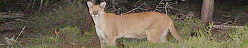 Rogue River Mountain Lion